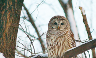 A barred owl on a snowy tree branch.