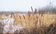 Cattails in the winter