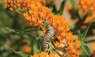 A caterpillar climbs on orange flowers.