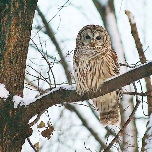 This barred owl visited a Shorewood backyard and made for a  picture-perfect day