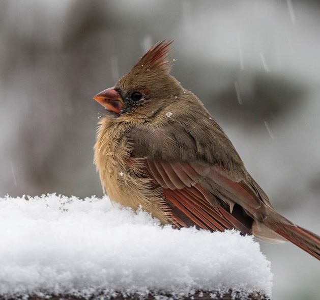 2018 Lens on Lake Minnetonka honorable mention Snowy Cardinal