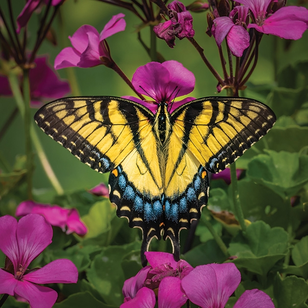 A swallowtail butterfly rests on a garden phlox in this Lens on Lake Minnetonka winning photograph.