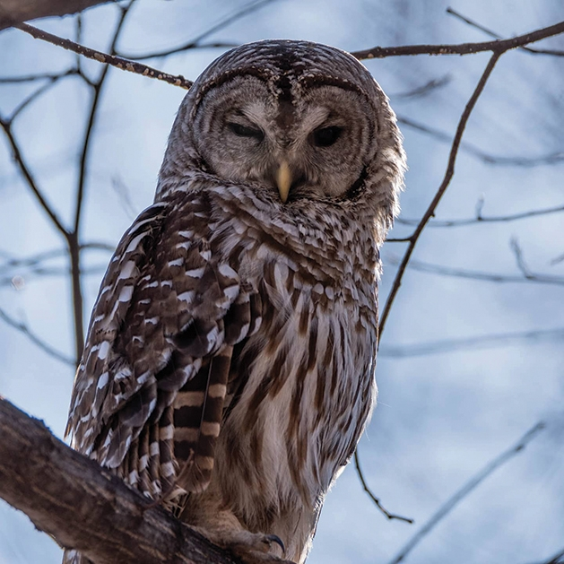 Owl perched in tree branches.