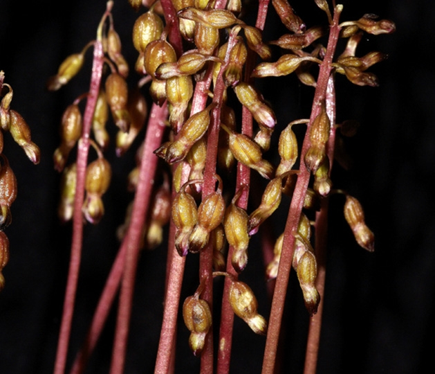 A thick cluster of the autumn coral root orchid.