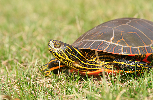 A painted turtle sits in the grass on a sunny day.