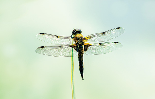A dragonfly in flight.