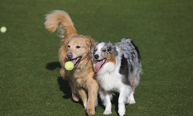 Two dogs play at Top Dog Country Club