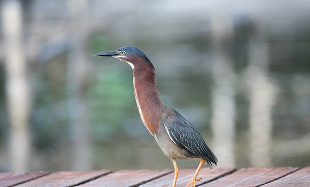 A green heron on a dock