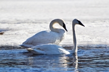 Two Swans in the water during winter at Gray's Bay.
