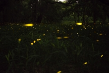 Fireflies in a field